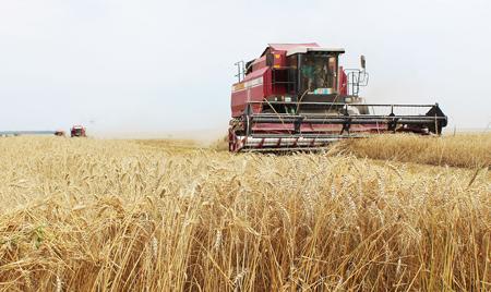Брянская область бьет рекорды по сбору урожая пшеницы